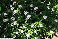 Catharanthus roseus 7zz.jpg
