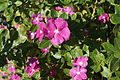 Catharanthus roseus in the Makadi Bay 16.jpg