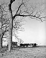 Cattle at Feeding Troughs, Abercrombie Ranch, James Smither Ambercrombie (12819827893).jpg