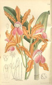 Cattleya elongata - Curtis' 123 (Ser. 3 no. 53) pl 7543 (1897)