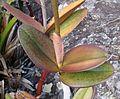 Cattleya elongata leaves.jpg