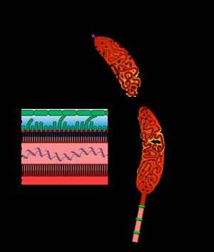 Caulobacter crescentus - Image: Caulobacter Overview