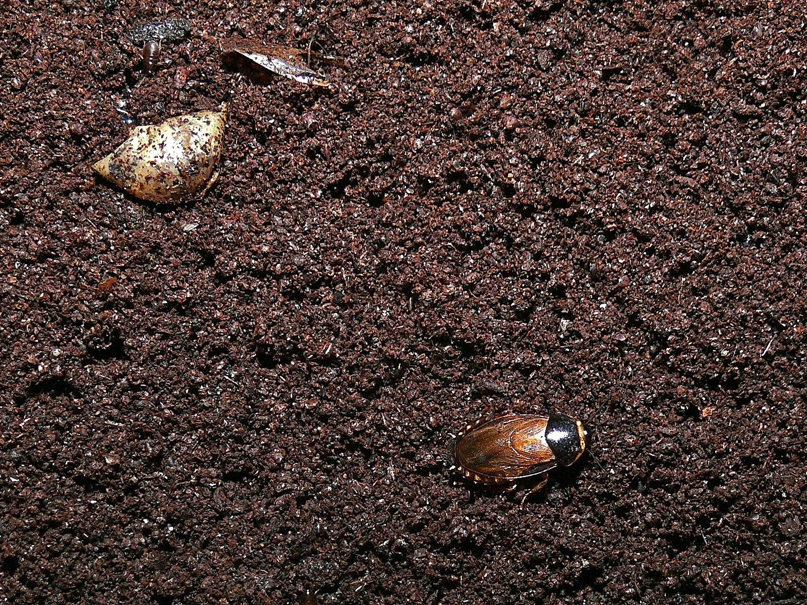 1600px-Cave_Cockroach_(Pycnoscelus_indic