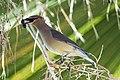 Cedar Waxwing at the palm tree (25245169595).jpg