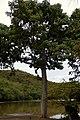 Ceiba (Ceiba pentandra) (14367074607).jpg