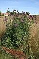 Centaurea-scabiosa-habitus.jpg