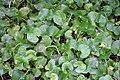 Centella asiatica 2zz.jpg