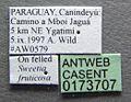 Cephalotes targionii casent0173707 label 1.jpg