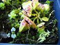 Cephalotus folicularis-1.jpg