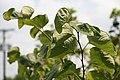 Cercis canadensis Alba 2zz.jpg