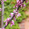 Cercis occidentalis-IMG 6646.JPG