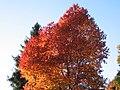 Cerezo de la residencia del poblado en otoño - panoramio.jpg