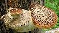Cerioporus squamosus (Huds.) Quél 869467.jpg