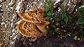 Cerioporus squamosus In Yerevan 01.jpg