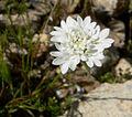 Chaenactis fremontii flower 1.jpg