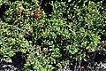 Chaenomeles japonica Texas Scarlet 5zz.jpg