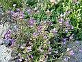 Chaenorrhinum origanifolium 'Blue Dream' 1.JPG