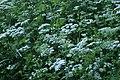 Chaerophyllum temulum kz12.jpg