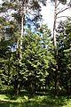 Chamaecyparis obtusa Rogów 2.JPG