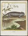 Chamaeleo vulgaris - 1700-1880 - Print - Iconographia Zoologica - Special Collections University of Amsterdam - UBA01 IZ12300023.tif