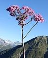 Chamonix - flower.jpg