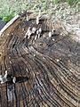 Champignons poussant sur un tronc d'arbre coupé.jpg