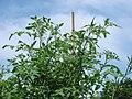 Cherry Tomatoes on Bamboo Trellis - panoramio.jpg