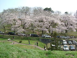 Cherry blossoms in Eboshiyama Park, Akayu