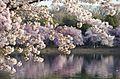 Cherry blossoms dangling - 2013-04-09 (8634835157).jpg
