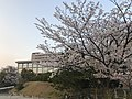 Cherry blossoms near Kyushu Sangyo University 20190405-3.jpg