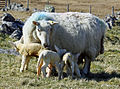 Cheviot ewe and triplets.jpg