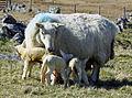 Cheviot ewe and triplets.jpg
