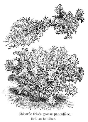 Chicorée frisée grosse pancalière Vilmorin-Andrieux 1904.png