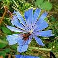 Chicory - Flickr - Stiller Beobachter.jpg