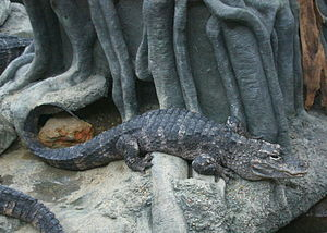 Chinese alligator - At the Cincinnati Zoo and Botanical Garden