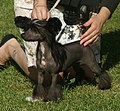 Chinese Crested naked 2.jpg
