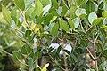 Chionanthus foveolatus - Pock Ironwood Tree - Cape Town 6.jpg