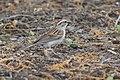 Chipping Sparrow Holden Arboretum OH 2019-05-19 10-36-32 (48015578448).jpg