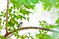 Chipping sparrow (19723677182).jpg