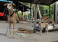 Chippiparai with its pup.jpg