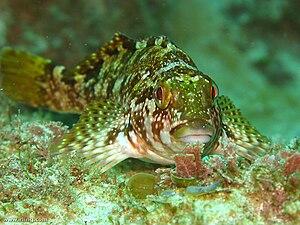 Kelpfish - Large kelpfish (C. marmoratus)