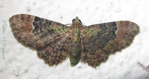 Chloroclystis latifasciata-16mm-35.jpg
