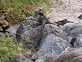 Christmas Iguanas - Marine Iguanas - Espanola - Hood - Galapagos Islands - Ecuador (4871388330).jpg