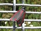 Cinnabar moth 01 NZ.jpg