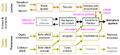 Circuits neurobiologiques de la motivation sexuelle chez les mammifères.png