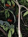 Citrus aurentium spp.jpg