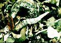 Cladonia coniocraea-1.jpg