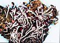 Cladonia cristatella-3.jpg