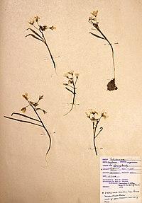 Claytonia virginica BW-1966-0507-0914.jpg