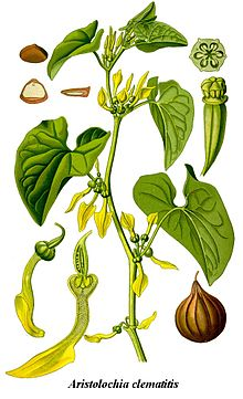 Cleaned-Illustration Aristolochia clematitis.jpg